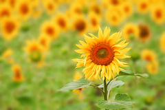 Sunflower. Big Sunflower head against an out-of-focus field of sunflowers Royalty Free Stock Image