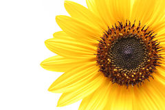 Free Sunflower Stock Image - 233991