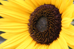 Sunflower. Detail Stock Photography