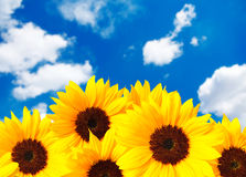 Free Sunflower Royalty Free Stock Images - 23958309