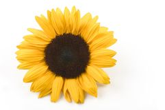 Sunflower. Beautiful sunflower isolated on white background Royalty Free Stock Images