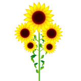 Sunflower. Illustration of beautiful sunflower with no background Stock Photos