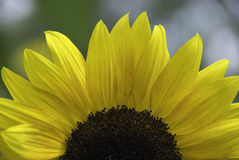 Sunflower. Summertime sunflower close-up in the garden Royalty Free Stock Photography