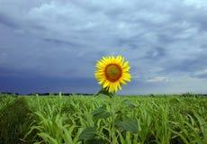 Sunflower. Landscape royalty free stock photo
