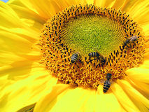 Sunflower. Bees on a sunflower stock images