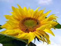 Sunflower. S against blue sky royalty free stock image