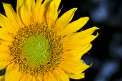 Sunflower. Photo with macro mode Royalty Free Stock Image