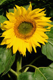 Sunflower. A big beautiful sunflower in a garden Royalty Free Stock Photography