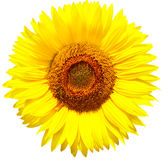 Sunflower. Isolated over white background Royalty Free Stock Image