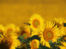 Sunflower. Field with a lot of sunflower Stock Image