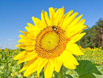 Sunflower. Beautiful sunflower against blue sky stock image