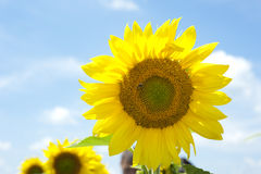 Sunflower. Under the blue sky Royalty Free Stock Images