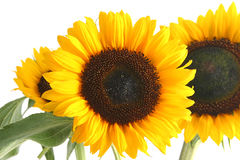 Sunflower. Beautiful yellow Sunflower on white background Royalty Free Stock Image