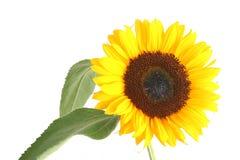 Sunflower. Beautiful yellow Sunflower on white background Stock Image