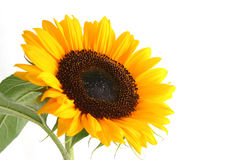 Sunflower. Beautiful yellow Sunflower on white background Royalty Free Stock Photos