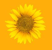 Sunflower. On orange background Royalty Free Stock Photos