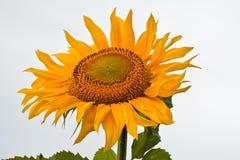 Sunflower. Close up view of the yellow sunflower Stock Photo