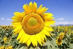 Sunflower. On the field, sunny blue summer sky Stock Photos