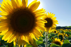 Sunflower. Backlit by the bright sun Stock Photography