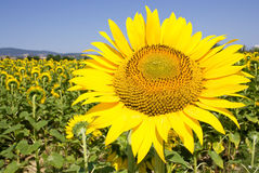 Sunflower. On the field, sunny blue summer sky Stock Images
