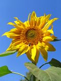 Sunflower. On a background of the sky Stock Images