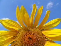 Sunflower. On a background of the sky Royalty Free Stock Image
