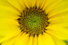 Sunflower. A Macro Photograph of a Sunflower Royalty Free Stock Photo