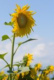 Sunflower. On the blue sky royalty free stock image