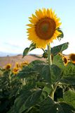 Sunflower. Image of a bright yellow sunflower in a sunflowers field Stock Photos