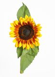 Sunflower. A single sunflower on a white background Royalty Free Stock Image