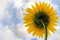 Sunflower. A lonely sunflower looking at the sun – summer concept Stock Photography