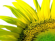 Sunflower. An isolated beautiful sunflower on white Stock Photo