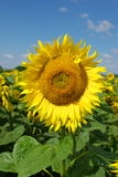 Sunflower. And the blue sky Stock Photography