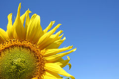 Free Sunflower Stock Photo - 2793070