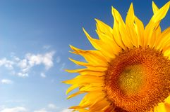 Sunflower. An image of sunflower on background of sky Royalty Free Stock Photography