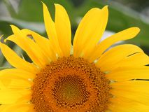 Sunflower. Captured in a hot summer day in Greenwood,Indiana stock images