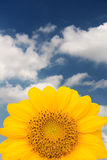 Sunflower. Isolated sunflower against a blue sky Royalty Free Stock Photography