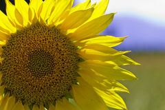 Sunflower. A closeup sunflower on a sunflower field Royalty Free Stock Image