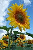 Sunflower. Big sunflower in the middle of sunflowers field Royalty Free Stock Photo