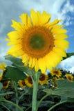 sunflower 免版税库存图片