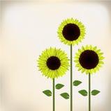 Sunflower. Three green sunflowers paper card Stock Photos
