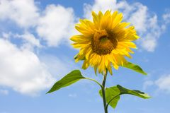 Sunflower. On a background of the blue sky Royalty Free Stock Image