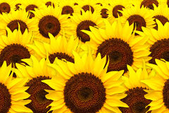 Sunflower. A lot of sunflower background Stock Photo