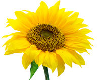 Sunflower. Photo of a sunflower isolated on white background Royalty Free Stock Images