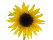 Sunflower. Isolated on a white background Stock Images