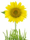 Sunflower. Isolated on a white background Royalty Free Stock Images