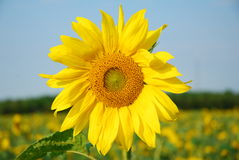 Sunflower. Beautiful yellow sunflower in the sun against field and sky Royalty Free Stock Images