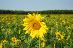 Sunflower. Beautiful yellow sunflower in the sun against field and sky Royalty Free Stock Photo