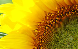 Sunflower 3 Stock Images