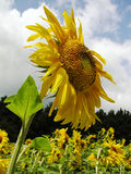 Sunflower 3 Stock Photos